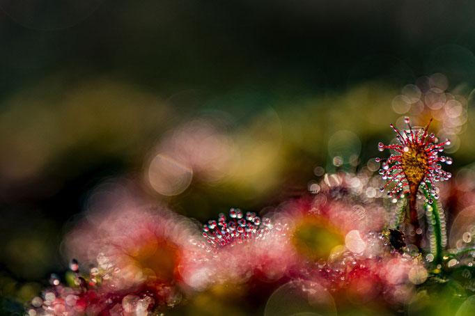 Drosera  Foto © Anne Berlin