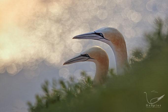 Basstölpel (Morus bassanus) - Foto: Michael Milfeit