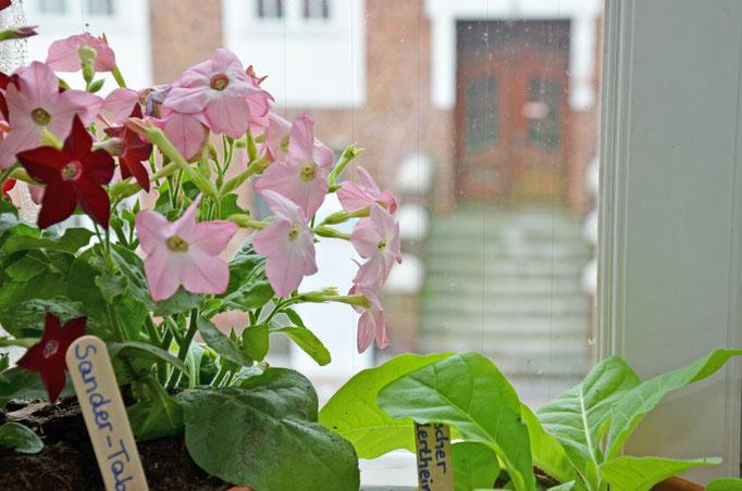 Tabakpflanze in blühte.