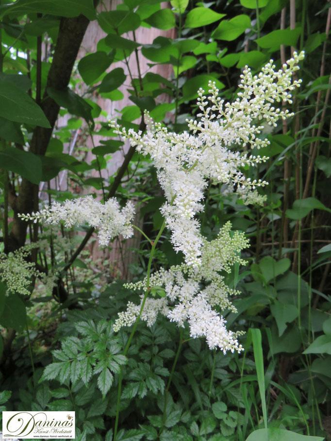 Weiß blühende Astilbe eignet sich zur Unterpflanzung von Hecken und Bäumen