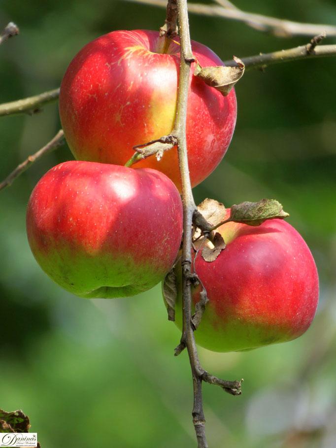 Erntereife Äpfel am Apfelbaum im Herbst
