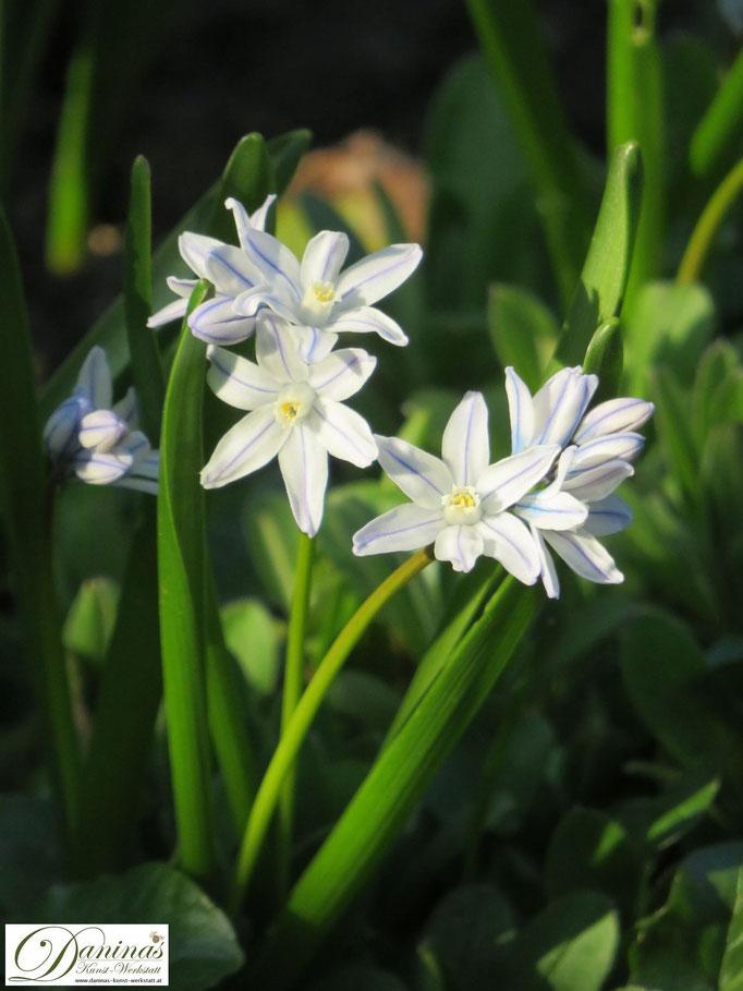 Die weißen Puschkinien Blüten zieren zarte, hellblaue Streifen