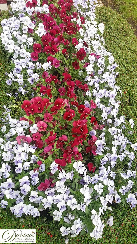 Grabbepflanzung Frühling mit roten und weißen Stiefmütterchen