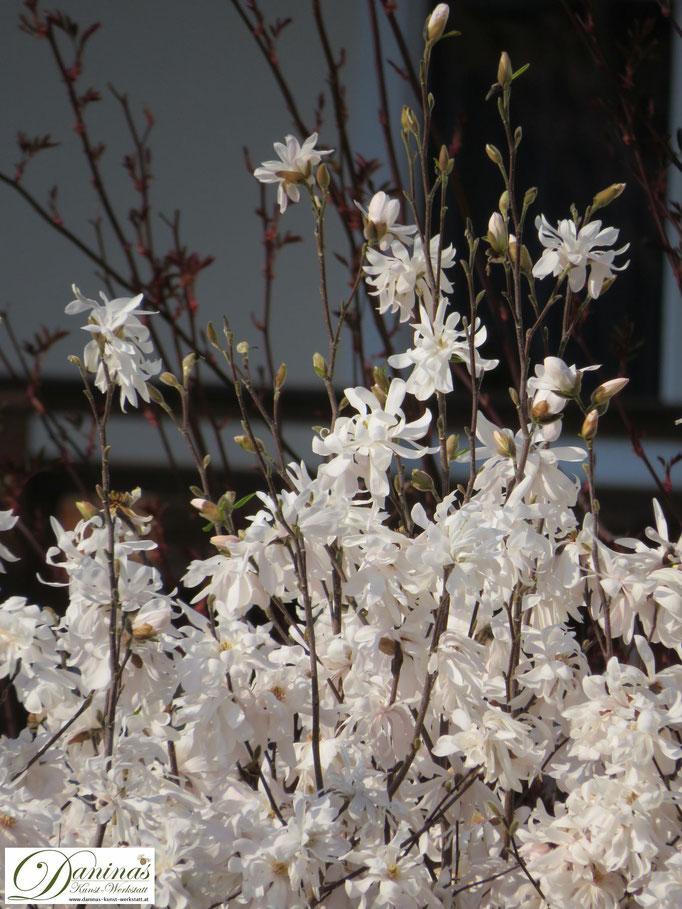 Weiße Stern-Magnolie im Frühling