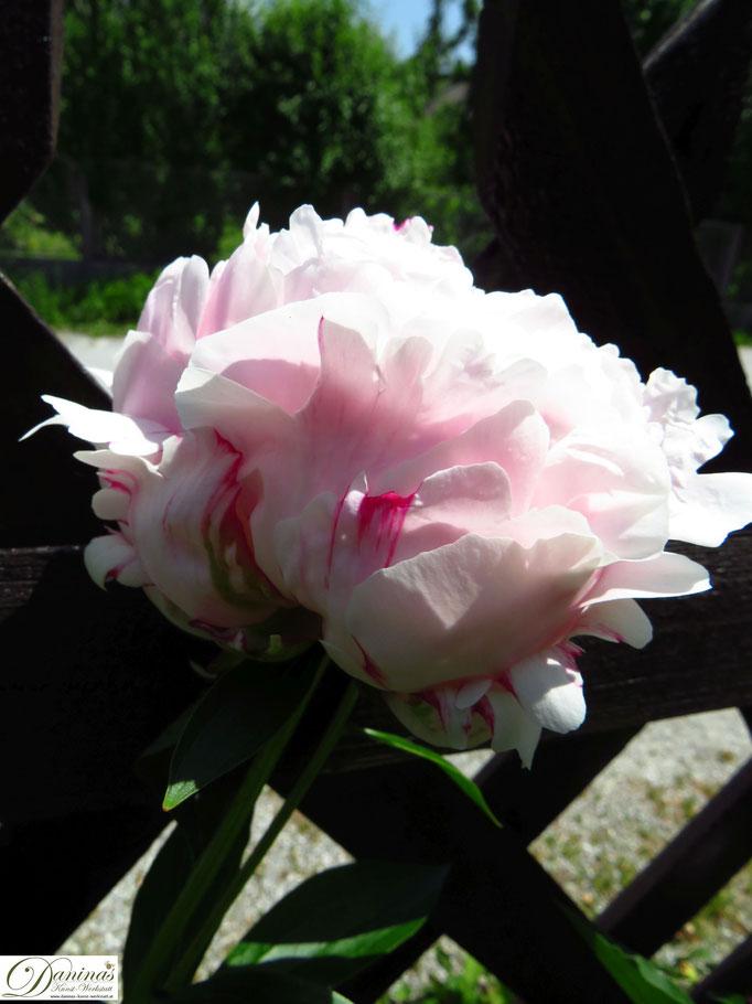 Wunderschöne Pfingstrosenblüte in Rosa mit roten Rändern