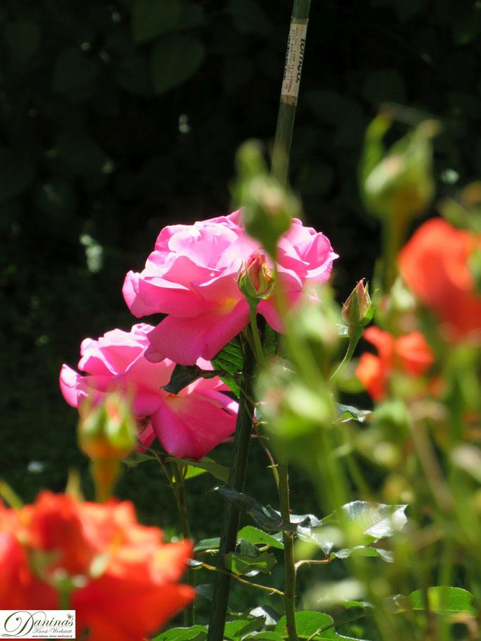 Im Rosengarten - rosa Rose