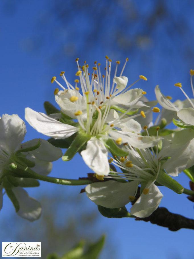 Bezaubernde weiße Zwetschgenblüten im Frühling (Bienenweide)