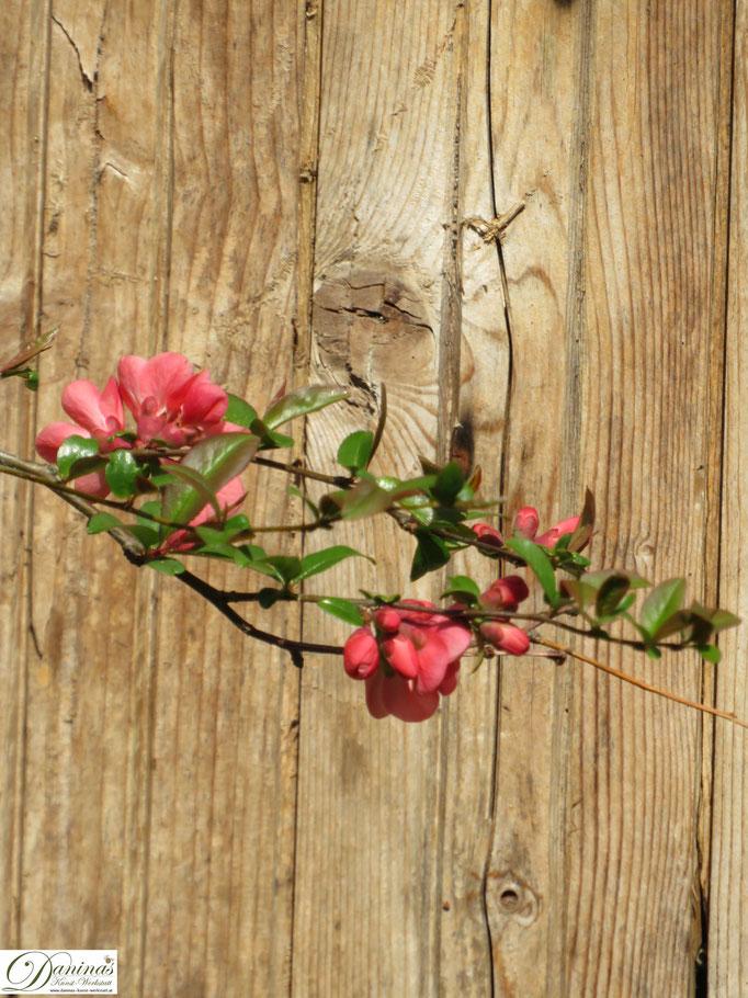 Quitte - Blüten im Frühling