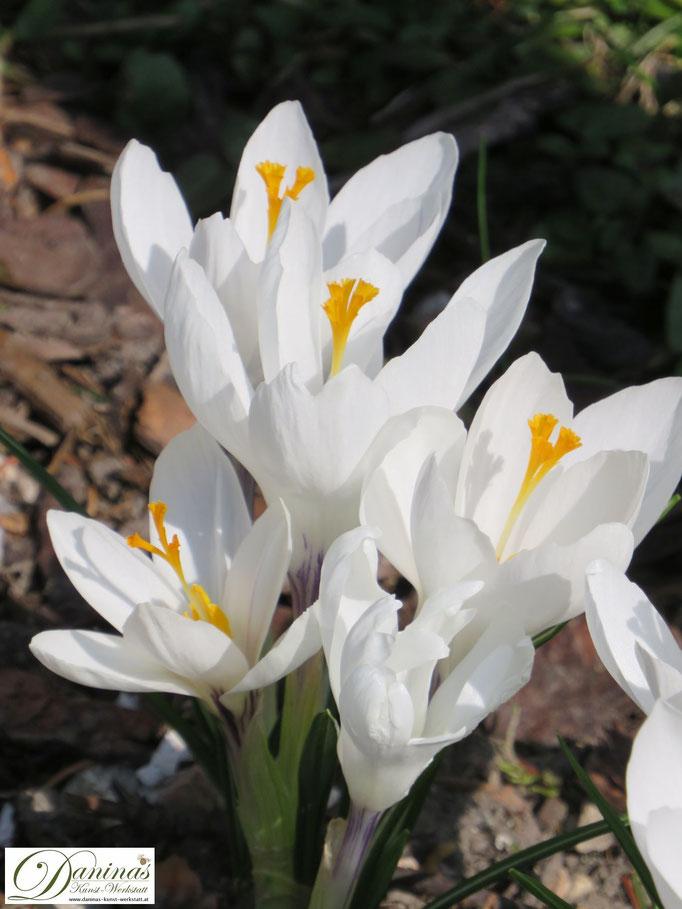 Weiße Krokusse im Frühlingsblumenbeet