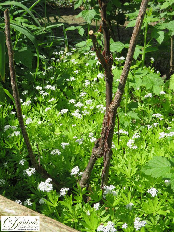 Frühling im Garten: Waldmeister als Bodendecker unter den Johannisbeerstauden