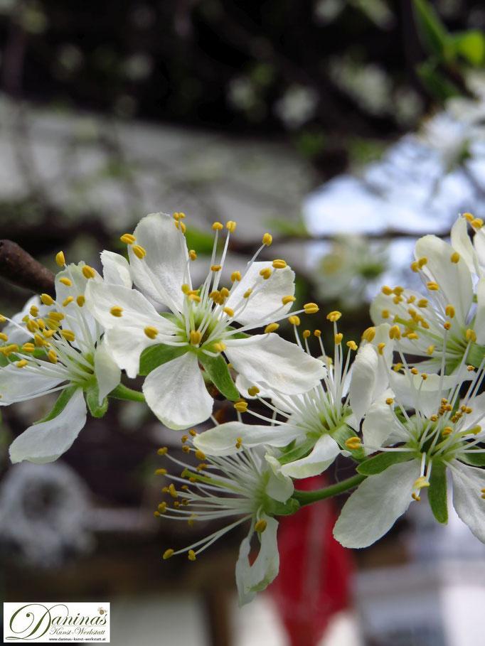 Frühling im Garten - weiß blühender Zwetschgenbaum