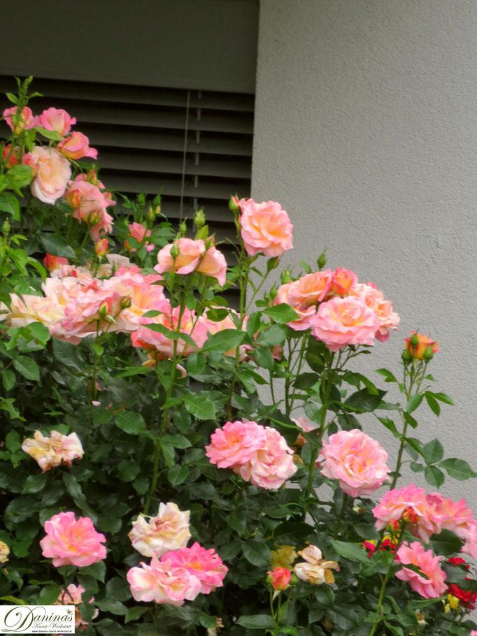 Im Rosengarten - lachsfarbige Rose