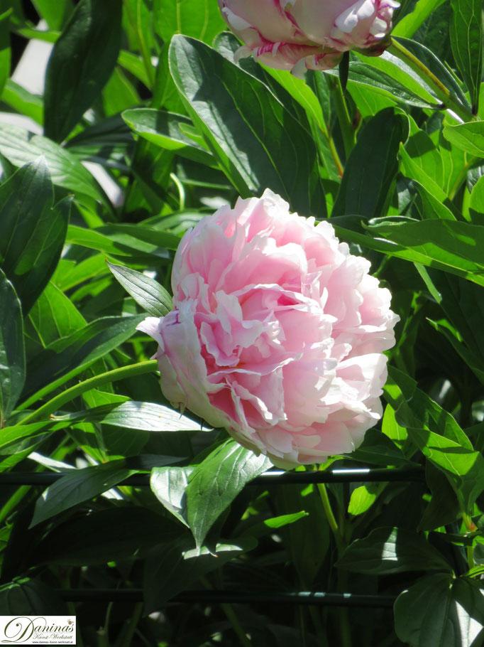 Rosa Blüte einer Pfingstrose