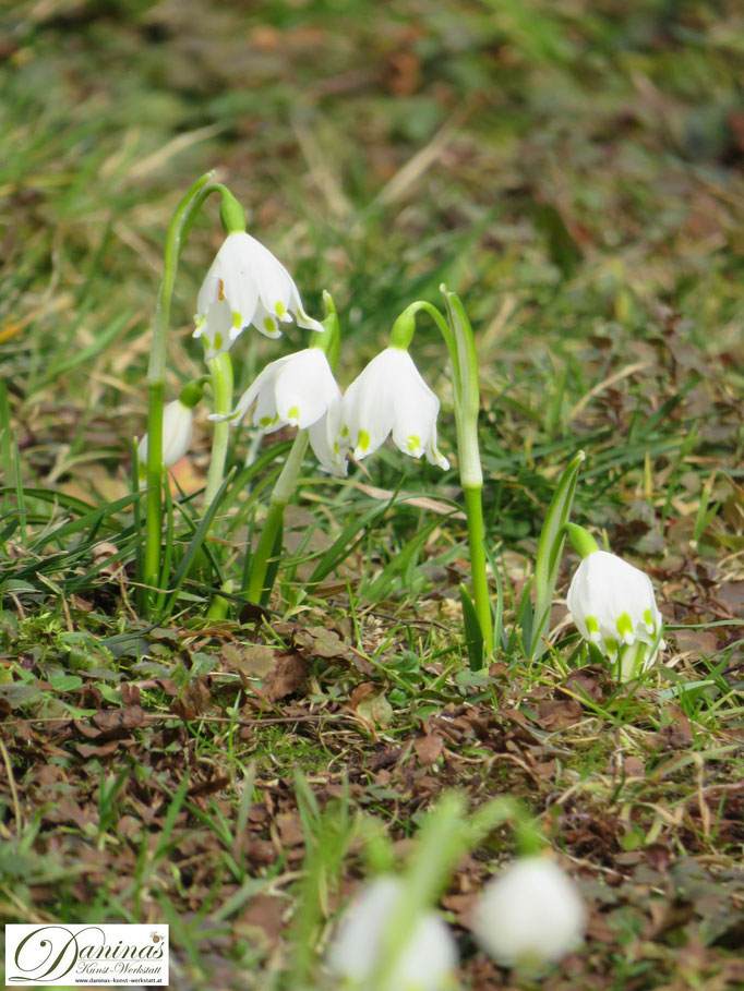 Weiß blühende Frühlingsknotenblumen mit zartgelben Punkten im Wintergarten.
