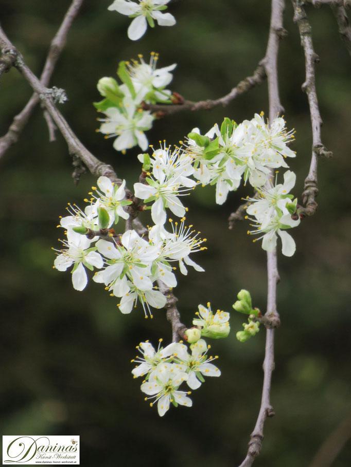 Die weißen Blüten des Pflaumenbaums sind eine Augen- und Bienenweide