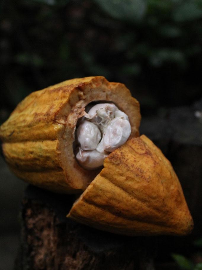 Kakaofrucht mit weißem Fruchtfleisch, in dem die Samen eingebettet sind