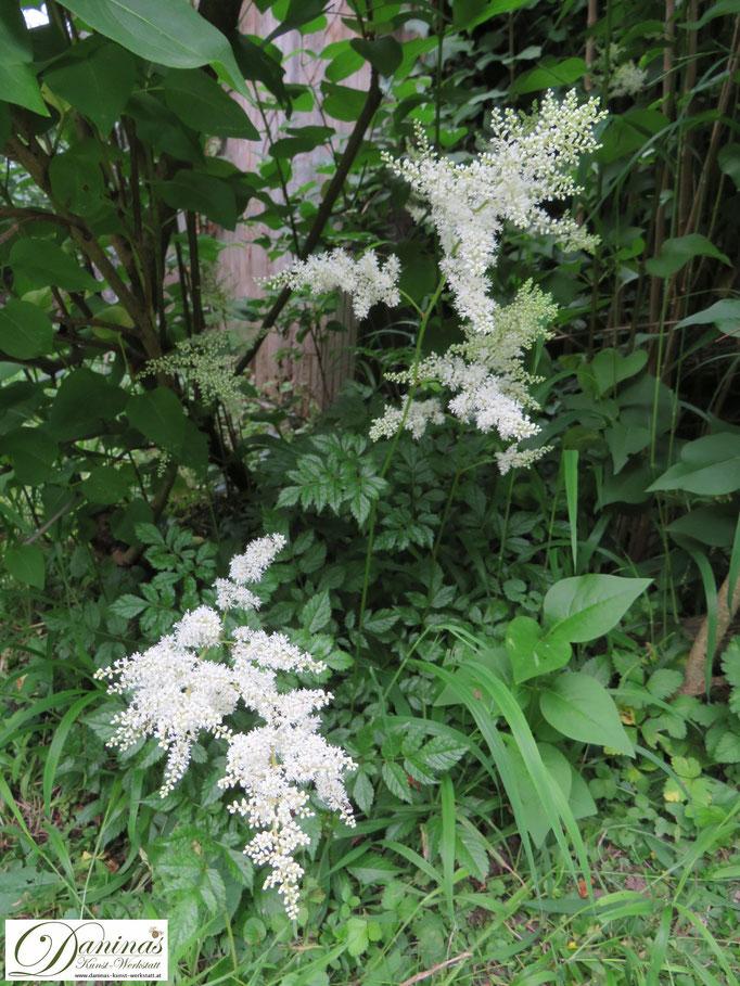 Ausdauernde Astilbe bildet im Sommer hübsche weiße Blüten