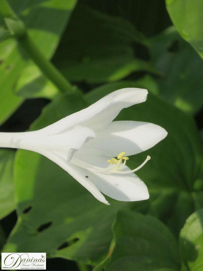 Weiße Blüte der Lilien-Funkie vor dem grünen Hintergrund ihres reichen Blattschmucks