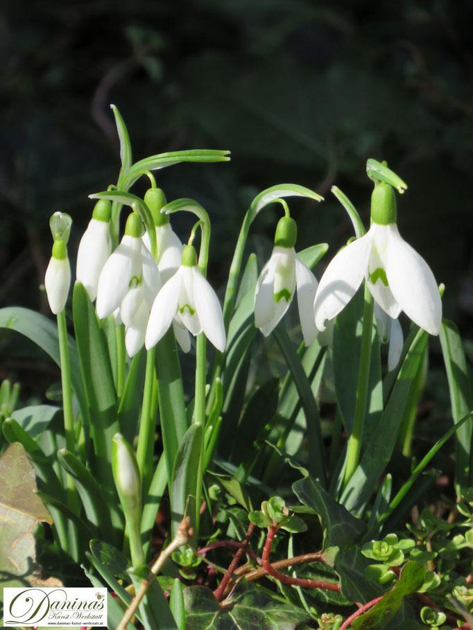 Weiß blühende Schneeglöckchen im Wintergarten zählen zu den bienenfreundlichen Blumen.