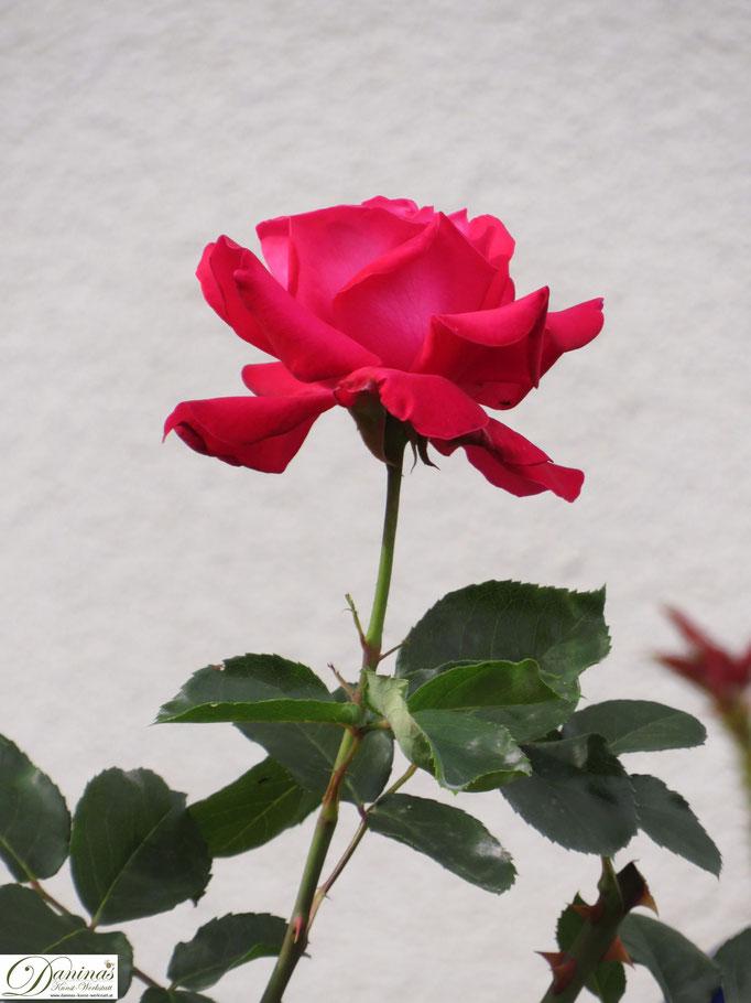 Im Rosengarten - rot blühende Rose
