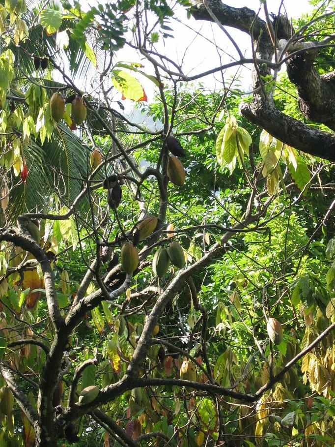 Kakaobaum mit Kakaofrüchten