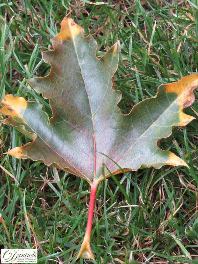 Bunt gefärbtes Ahornblatt im Garten