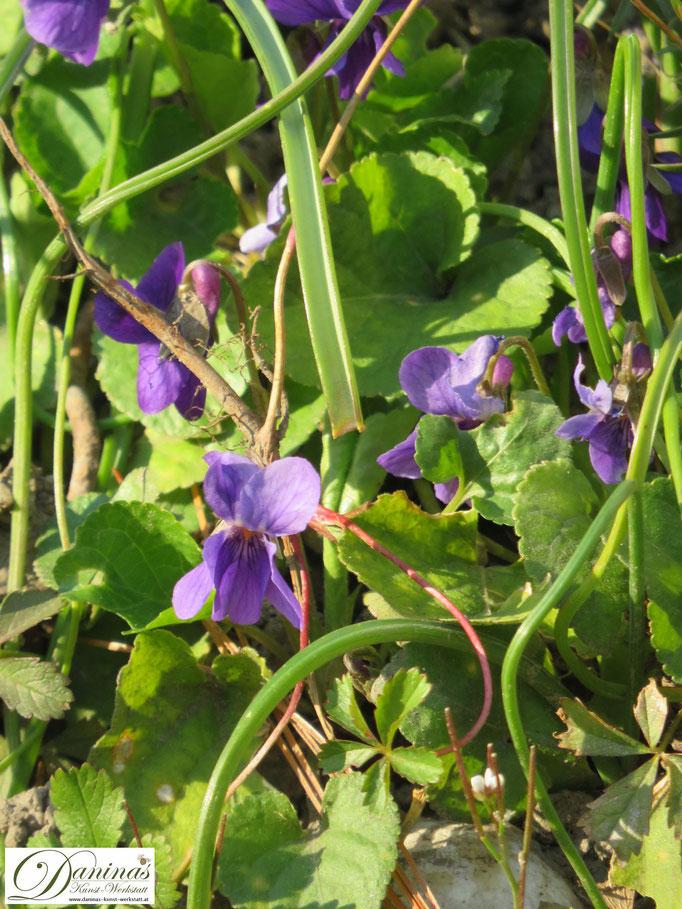 Im naturnahen Garten wird seltener Rasen gemäht, so dasst Wiesenkräuter wie das Veilchen wachsen