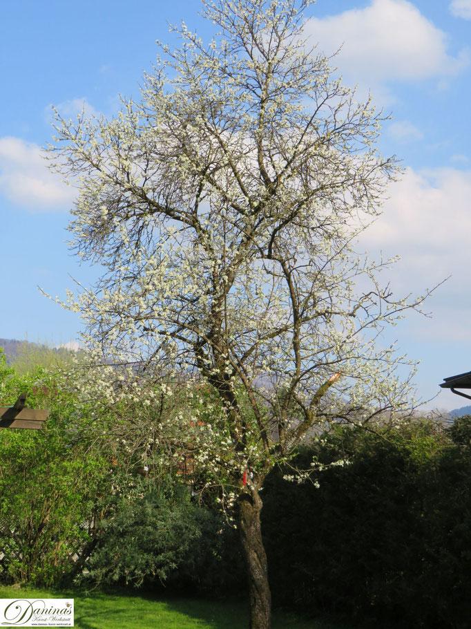 Mein blühender Zwetschgenbaum im Frühling