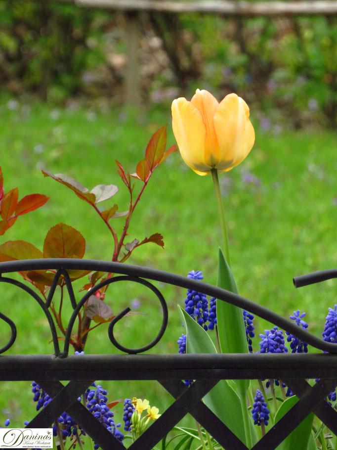Tulpen - Frühlingsblumen