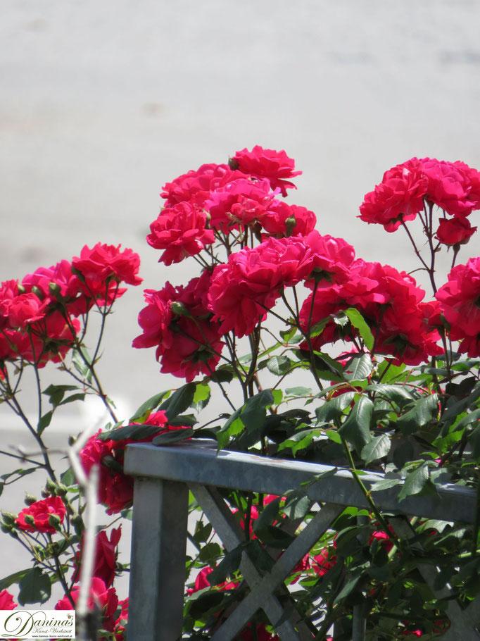 Im Rosengarten - rote Rose