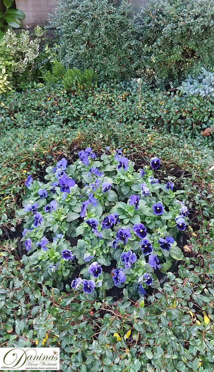 Grabgestaltung und Grabbepflanzung im Herbst pflegeleicht. Beispiel mit blauen Stiefmütterchen.