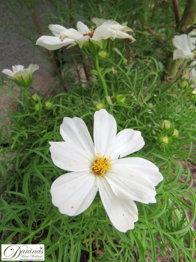 Weiße Schmuckkörbchen (Cosmea): bienenfreundliche Dauerblüher im Sommer Garten
