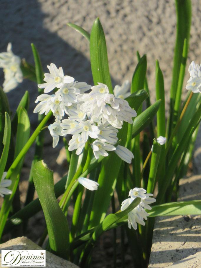 Zarte weiße Puschkinie im Frühjahrsbeet