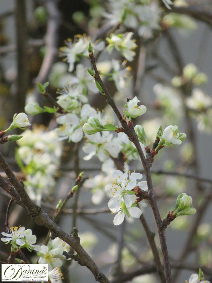 Blühender Pflaumenbaum im Garten