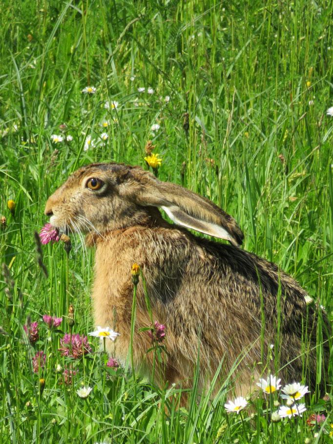 Eine Blumenwiese im Naturgarten lockt sogar Feldhasen in den Garten
