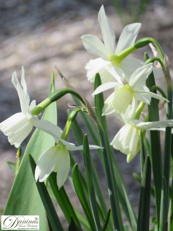 Weiße Narzissen verzaubern den Garten im Frühjahr