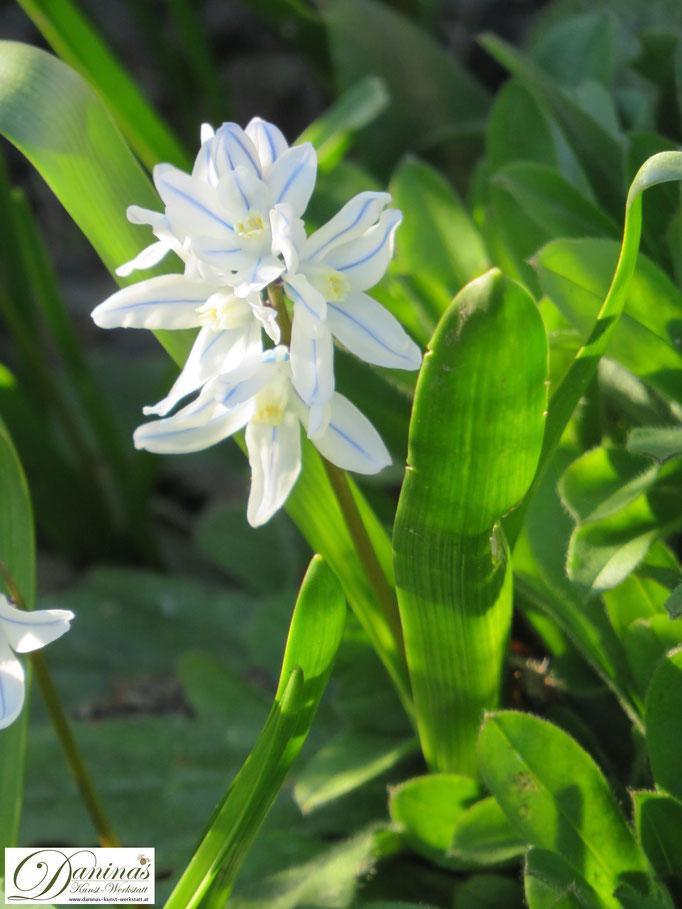 Weiße Puschkinien, hübsche Frühblüher im Garten