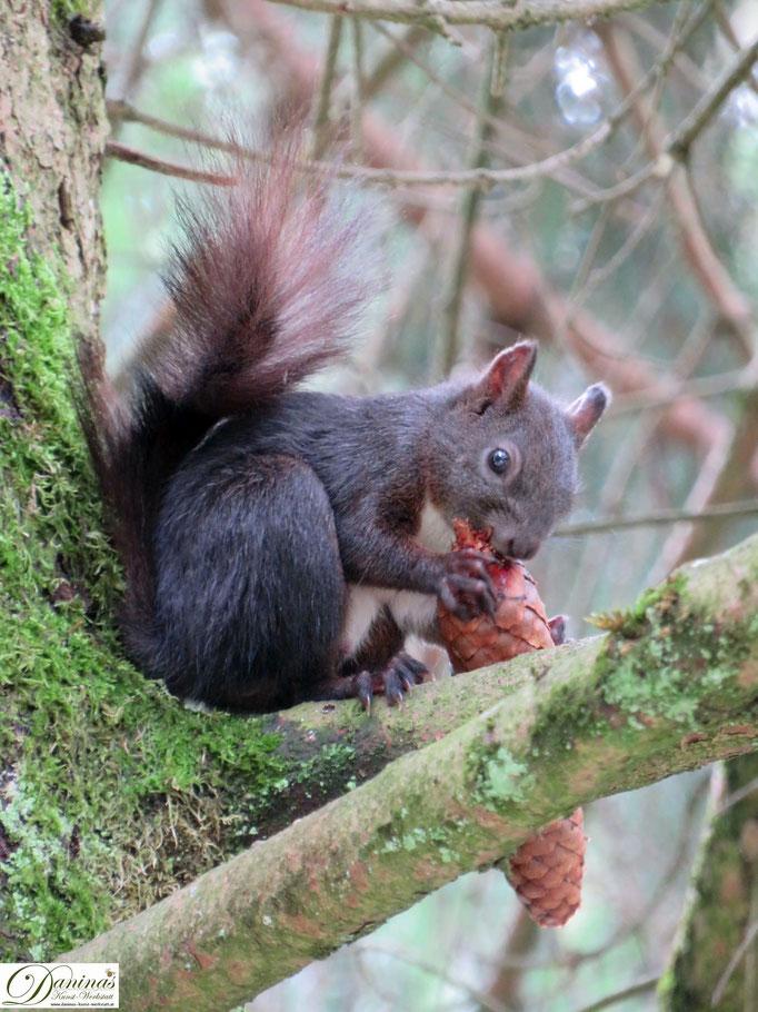Eichhörnchen mit Fichtenzapfen.