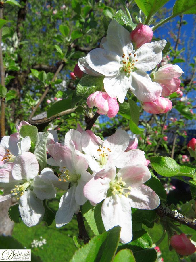 Mein Apfelbaum - Blüten im Frühling
