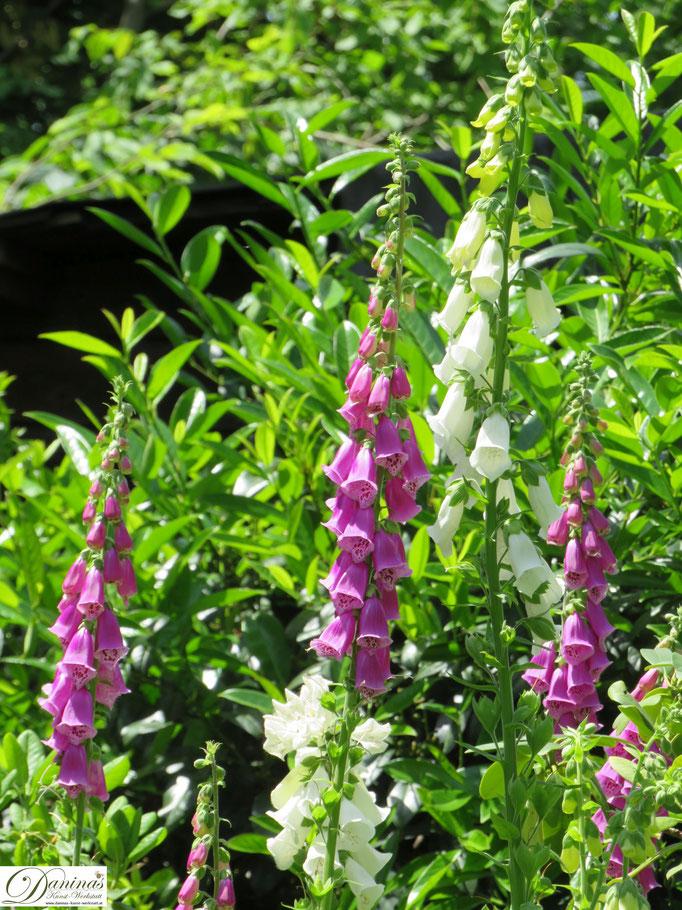 Fingerhut Stauden - Cottage Garten Impressionen im Frühsommer