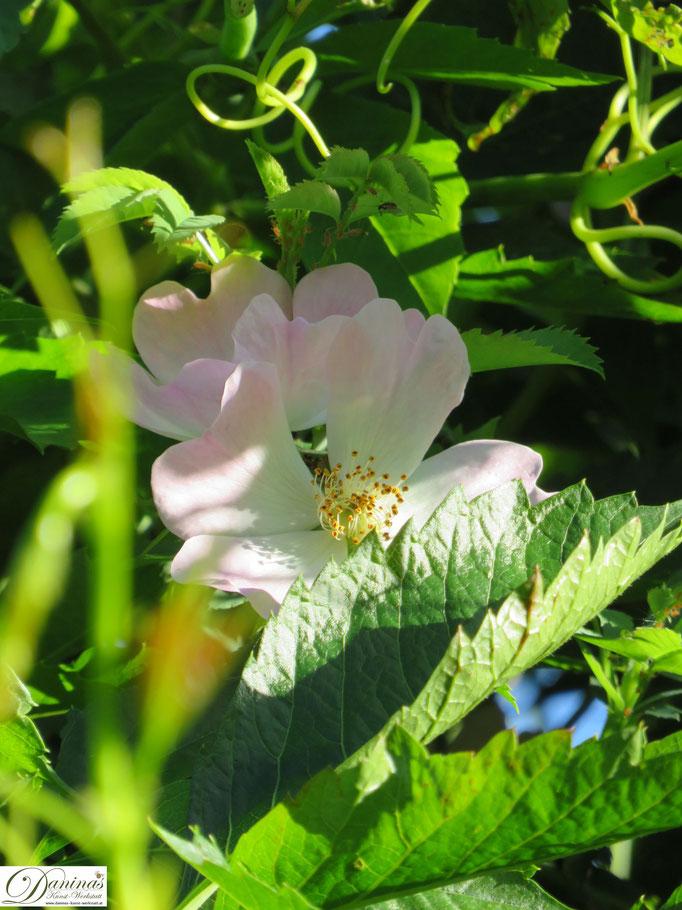 Im Rosengarten - Heckenrose