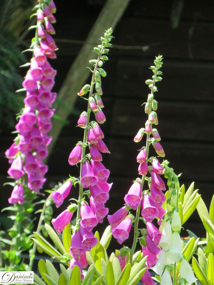 Wunderschöne Fingerhut Blüten im Cottage Garten