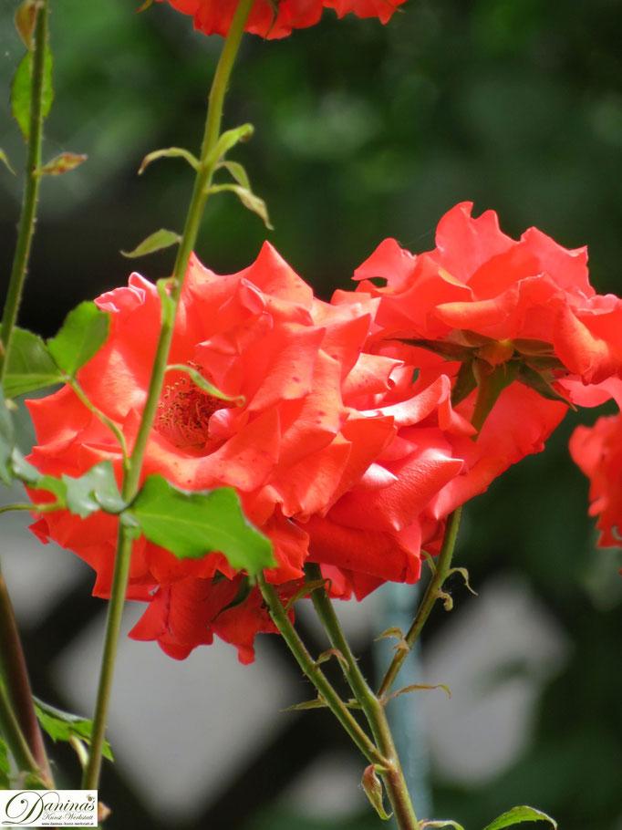 Im Rosengarten - orange Rose