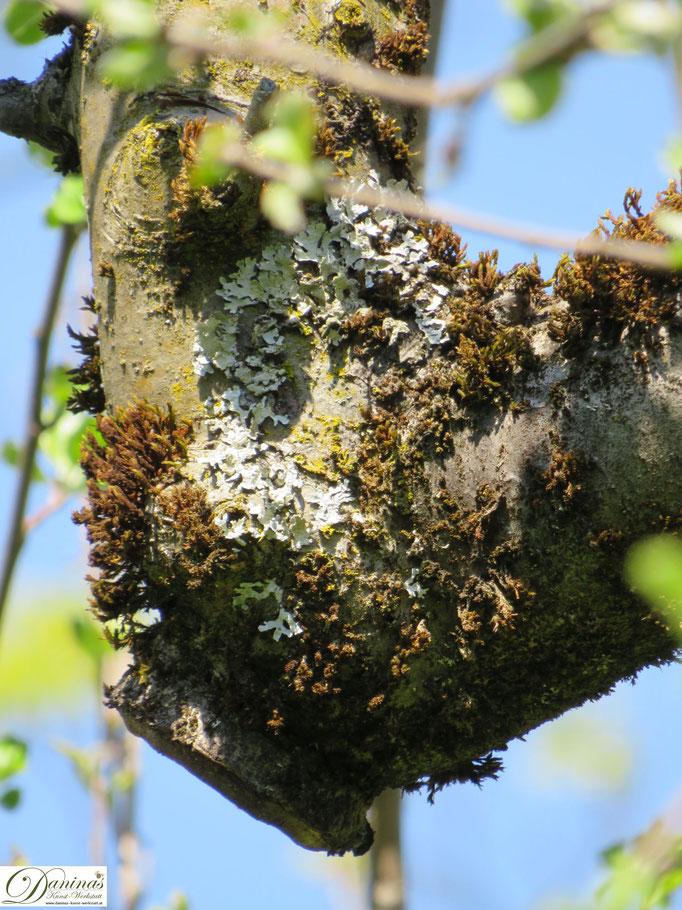 Knorriger Apfelbaum Ast mit Moos und Flechten
