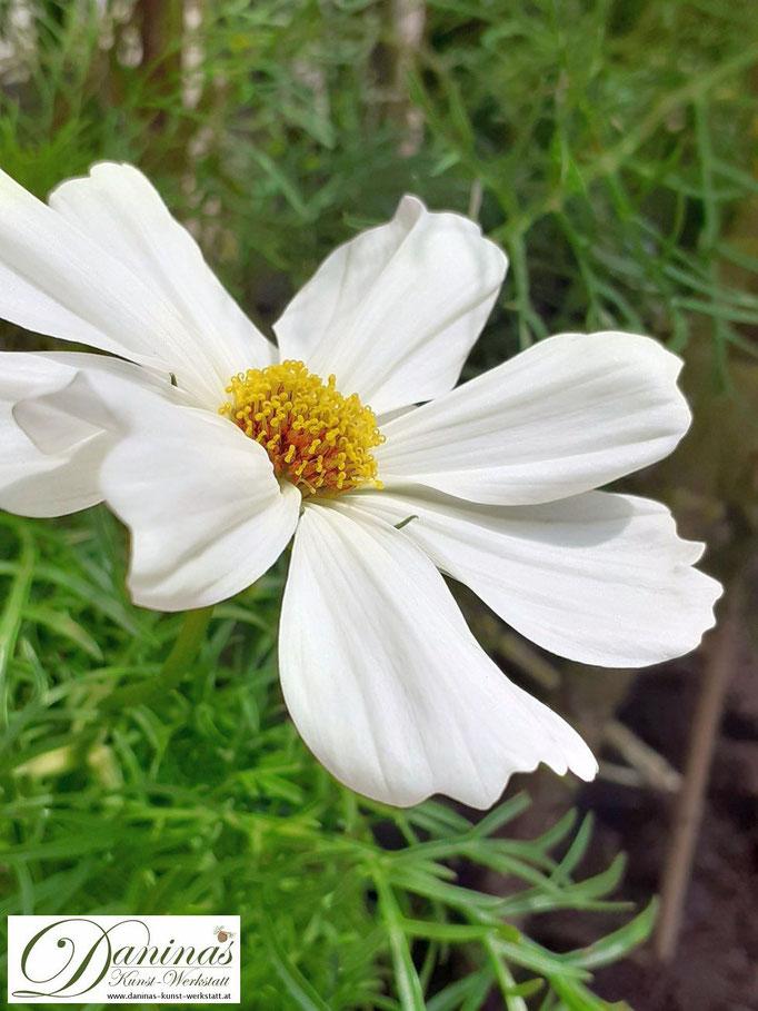 Sommer im Garten: Weiß blühende Schmuckkörbchen (Cosmea)