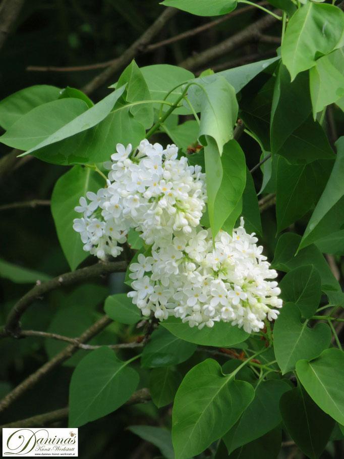 Frühling im Garten: Wenn der weiße Flieder blüht!