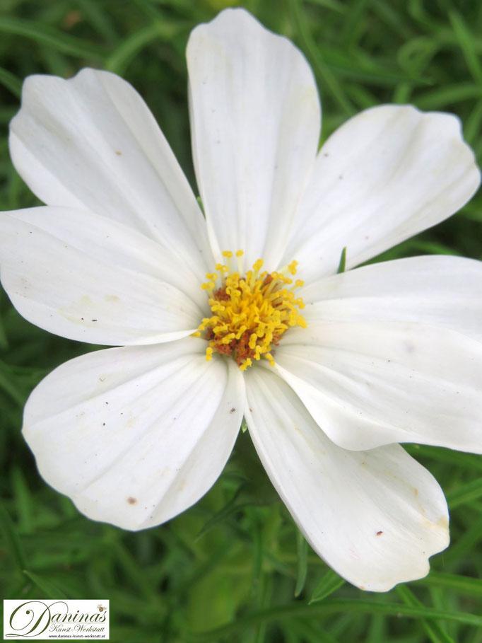 Weiße Schmuckkörbchen sind pflegeleicht und gehören in jeden (Bauern)Garten!