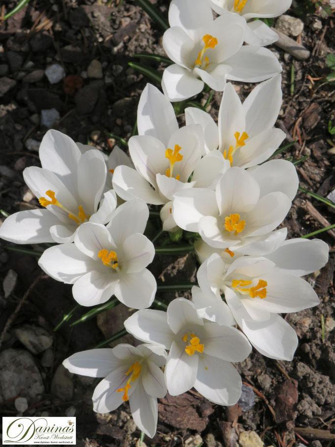 Weiße Krokusse - eine begehrte Augen- und Bienenweide im Frühjahr