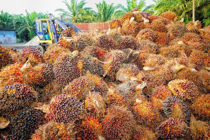 Palmölfrucht zerstört den Regenwald.