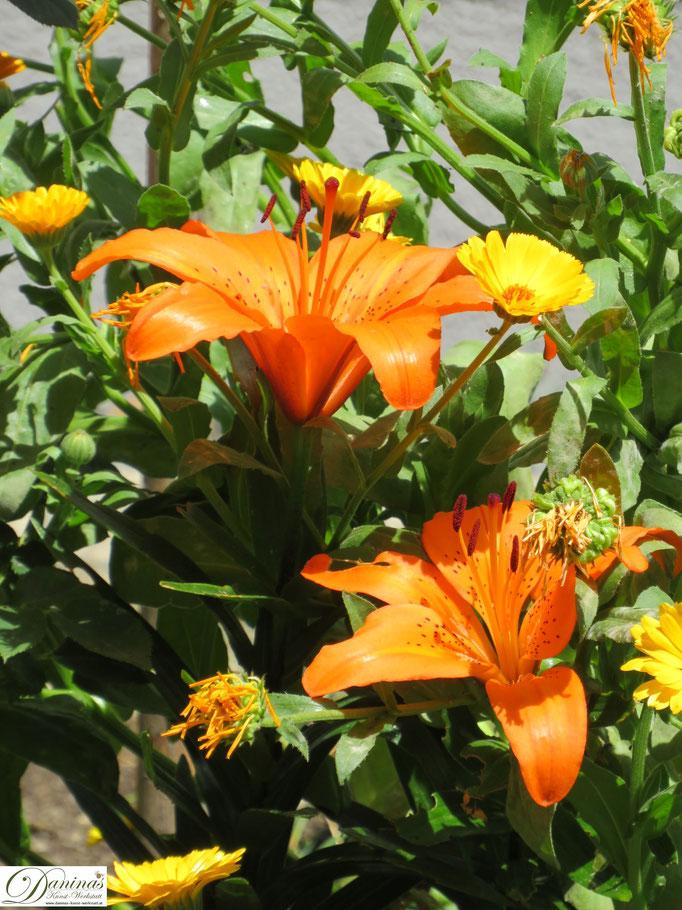 Orange blühende Lilien und Ringelblumen